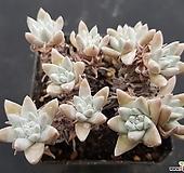 화이트그리니 6742 Dudleya White greenii