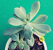 62석연화금|Pachyveria Pachyphytodies