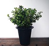 유럽 남천나무(뽀글이)(대품)|