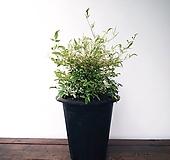 유럽 칼라남천나무(대품)|