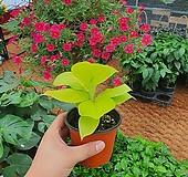 형광스파트필름 (신상)공기정화식물)스파트필름|