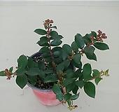 미니백일홍 꽃대가득|