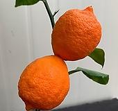 오렌지레몬나무(단품)|