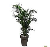 아레카야자 야자나무 대형 개업축하화분 특이식물|
