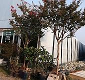 베롱나무(백일홍)|