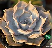 한송이꽃같은 릴리시나|Echeveria lilacina