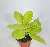 라임블라썸 형광스파트필름 형광 스파트 공기정화식물 한빛농원 |