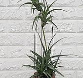 ♥플렉수오사 틸란드시아 ♥행잉플랜트 공중식물|