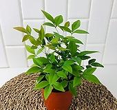 남천 실내 공기정화 식물 플랜테리어 식물|