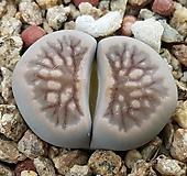 국화석 성체 분채배송|