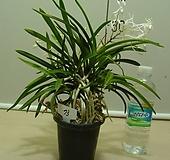 한국자생소엽풍란73번-자연산증식품-입엽성-향기죽음-동일품배송|
