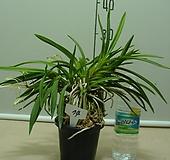 한국자생소엽풍란74번-자연산증식품-입엽성-향기죽음-동일품배송|