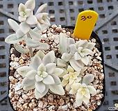 베라하긴스금 Graptopetalum Mirinae