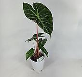 핑크드래곤 알로카시아 수입식물 공기정화식물 사진상품발송 P-0720|
