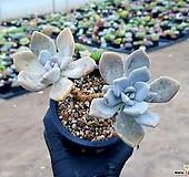 석연화 64-420|Pachyveria Pachyphytodies