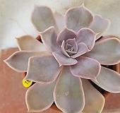 릴리시나_19|Echeveria lilacina