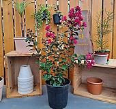 목백일홍(핑크벨로-꽃색상이 매력적인아이~)|