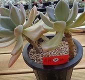 석연화금 자연군생|Pachyveria Pachyphytodies