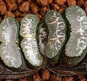 옥선(대형 명창 렌즈계) 玉扇(大型 明窓 Lens系)-06-03-No.2111 Haworthia truncata