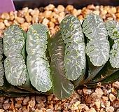 특자문 옥선(特紫紋 玉扇)-06-03-No.3186 Haworthia truncata