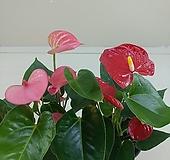 미니안시리움 빨강/분홍|