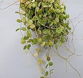 귀여운 잎의 줄무늬가 매력적인 디시디아 멜론 메론 걸이 