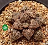 오쿠보핑크픽타 Haworthia picta