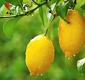 수형완성 레몬트리 성목 외목수형 화분상품♥스탠다드 레몬나무♥오리지널 단품♥시트러스|