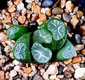 화릉만상 77-8 Haworthia maughanii