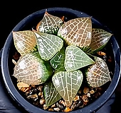 수정콤프토니아 77-10 Haworthia comptonia