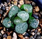 비취룡만상 78-12 Haworthia maughanii