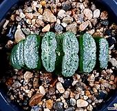 녹도옥선 78-21 Haworthia truncata