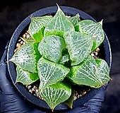 이반야(대묘) 79-2 Haworthia cv. Urahanya