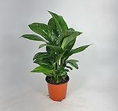 밀키웨이(은하수) 무늬스파트필름 센세이션 공기정화식물 한빛농원|Eecheveria Sensation