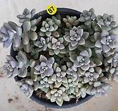 베라하긴스_87 Graptopetalum Mirinae