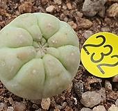 불두옥 선인장07228 Haworthia truncata