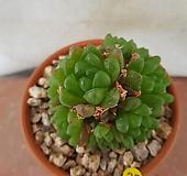 옵튜사-25 Haworthia cymbiformis var. obtusa