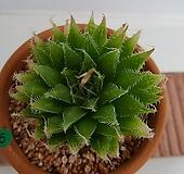 하월시아-5 haworthia
