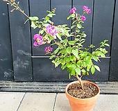 팝콘 같은 꽃 목 백일홍, 높이 60cm 전후|
