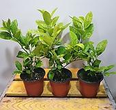 레몬나무(한목대)잎에서도 상큼한 냄새 가 나지요 |