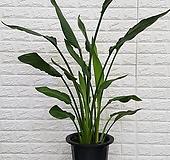 ♥꽃피는 극락조 3촉 ♥공기정화식물|