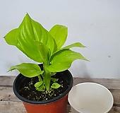 쪼꼬미 형광스파트필름 실내식물 음지식물 수경재배 공기정화식물|