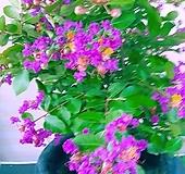 분홍목백일홍 공기정화동일배송 랜덤|