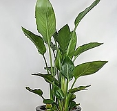 극락조 꽃피는극락조 3촉극락조 공기정화식물 한빛농원|