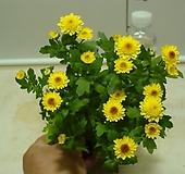 피코국화-소국-옐로우-꽃핀가지 자르면 계속 꽃대올라옴니다.|