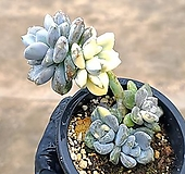 석연화금 66-432|Pachyveria Pachyphytodies