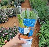 바질트리 (공기정화 향나는식물)신상 초특가|