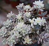 베라하긴스금(합식)-배송과정중 잎장이 떨어질수있습니다 Graptopetalum Mirinae