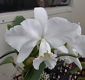 킹카틀레아 ~하얀색 