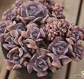 큐빅프로스티 철화군생 |Echeveria pulvinata Frosty
